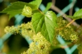 Male Flower Parts Responsible for Potent Grapevine Perfume